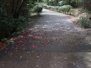 四国のみちの桜のじゅうたん