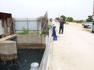 水門でのコノシロ釣り